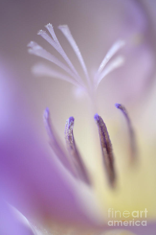 Fragrant Freesia  Photograph  - Fragrant Freesia  Fine Art Print