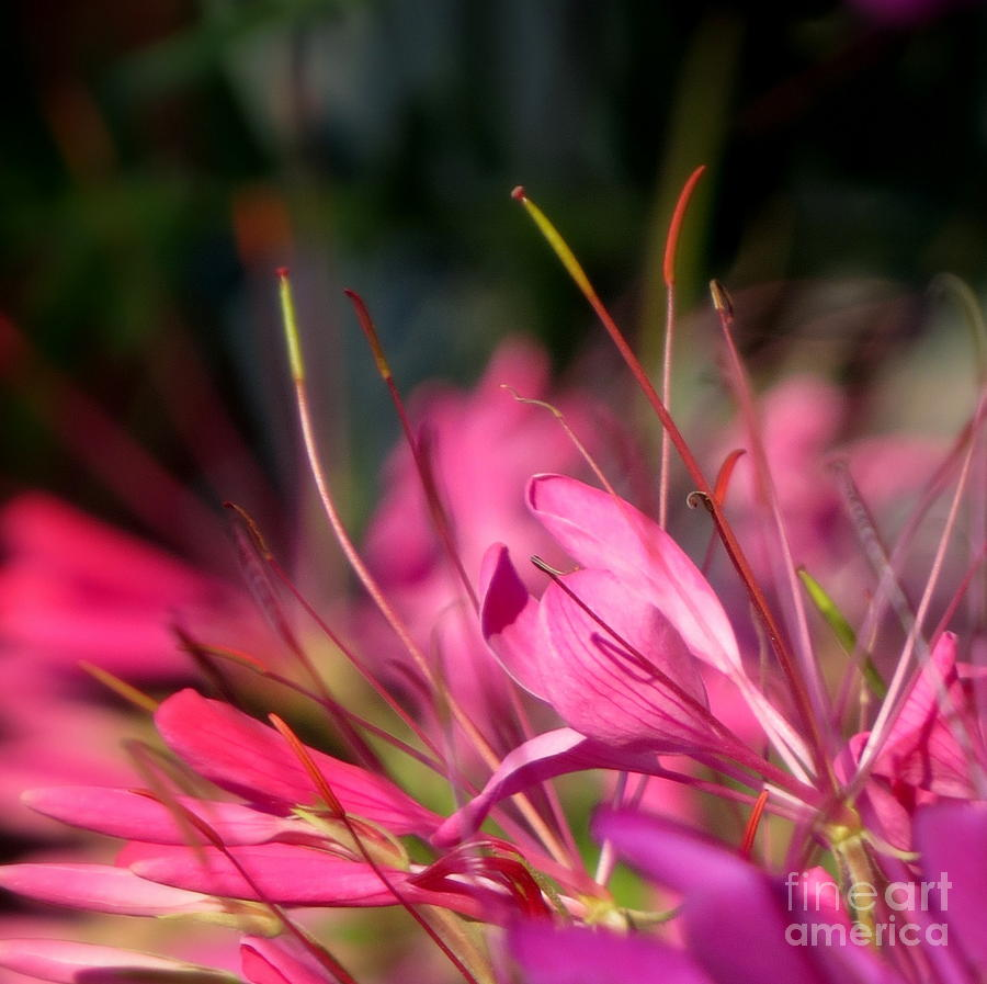 Iphone Photograph - Free Spirit Cleome by France Laliberte