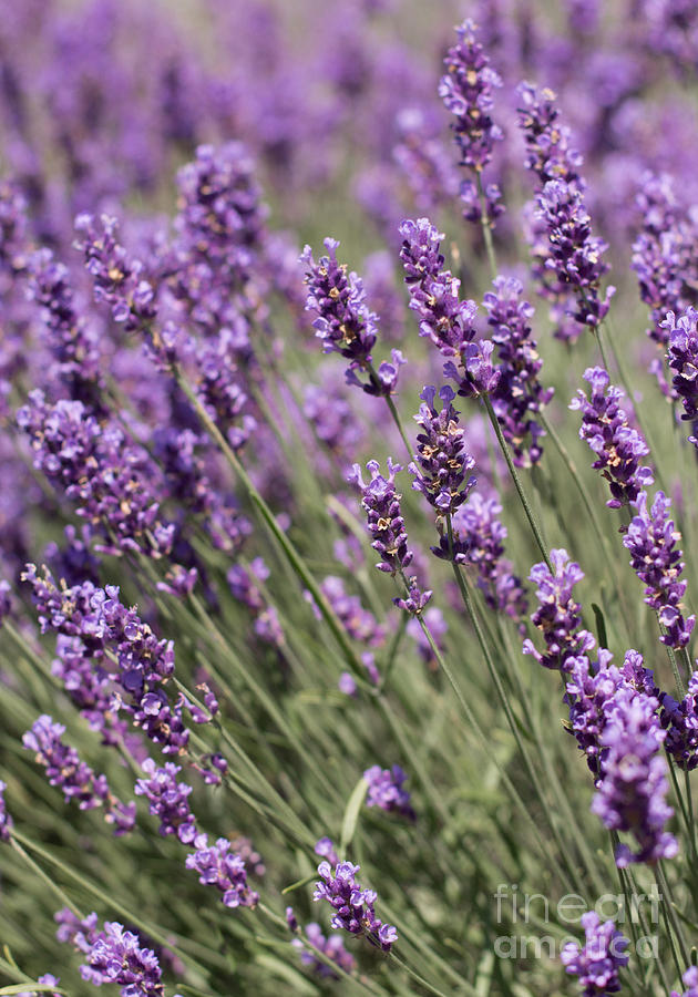 Lavender Photograph - French Lavender by Barbara McMahon