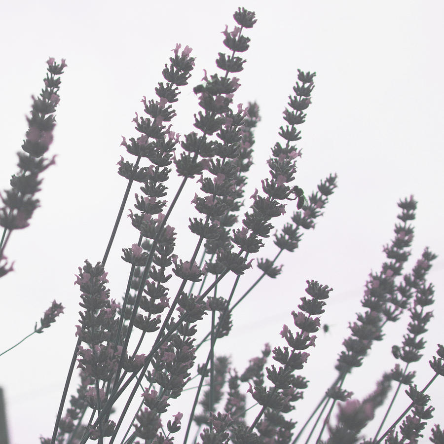 French Lavender Photograph