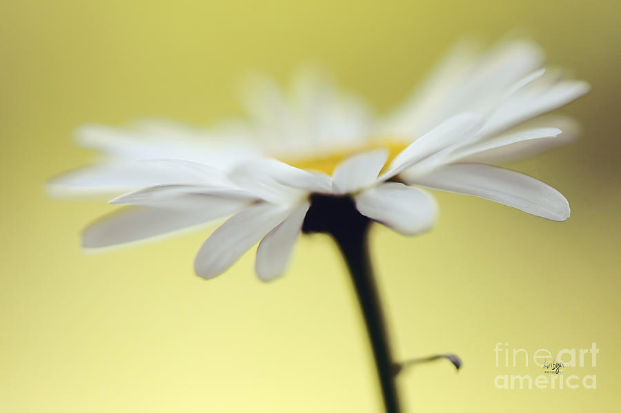 Daisy Photograph - Fresh As A Daisy by Lois Bryan