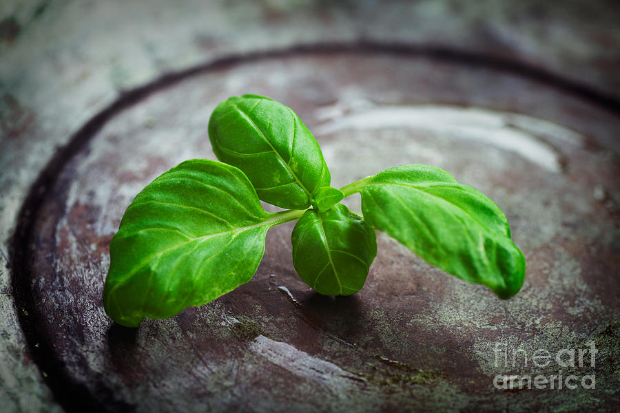 Fresh Basil Photograph
