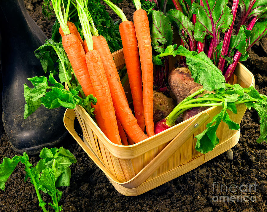 Fresh Picked Healthy Garden Vegetables Photograph