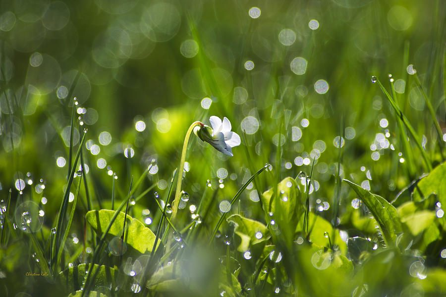 Fresh Spring Morning Dew Photograph  - Fresh Spring Morning Dew Fine Art Print