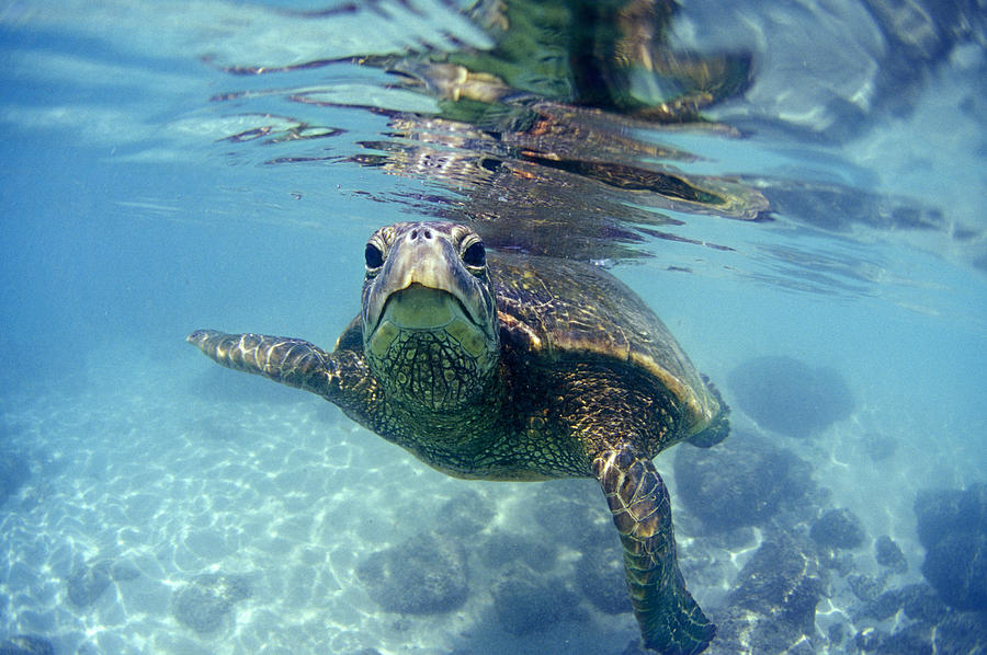 friendly Hawaiian sea turtle  Photograph