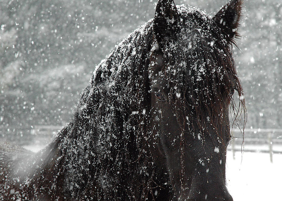 Friesian Snow Photograph  - Friesian Snow Fine Art Print
