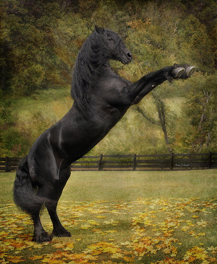 Friesian Stallion Tije  Photograph  - Friesian Stallion Tije  Fine Art Print