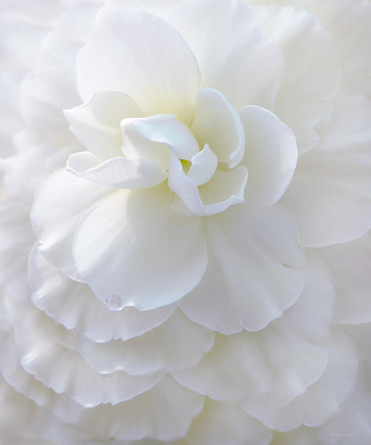 Frilly Ivory Begonia Flower Photograph  - Frilly Ivory Begonia Flower Fine Art Print