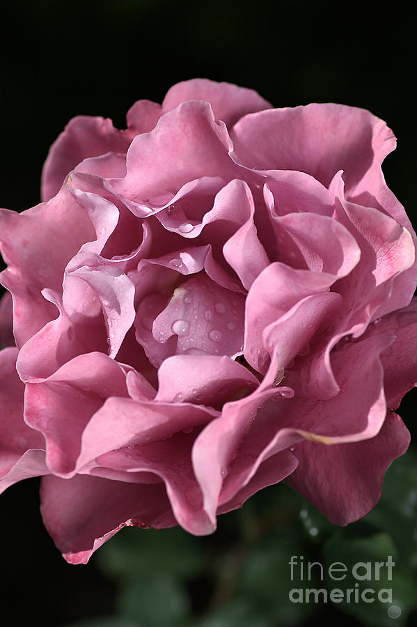 Frilly Rose Photograph  - Frilly Rose Fine Art Print