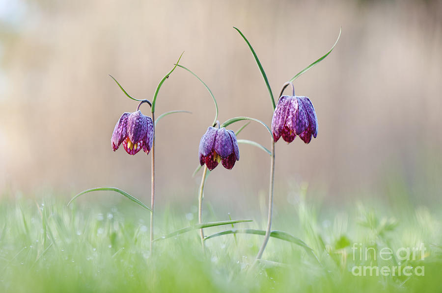 Fritillaria Meleagris Photograph - Fritillary Morning by Tim Gainey