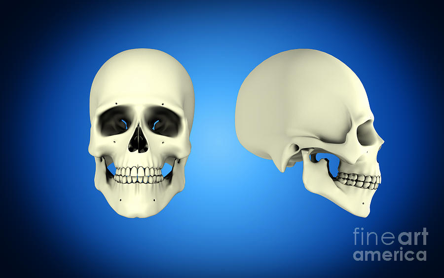 Front View And Side View Of Human Skull Digital Art