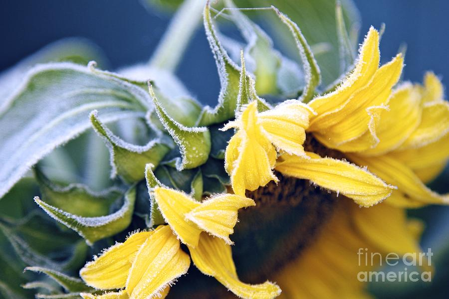 Frosted Sunflower Photograph