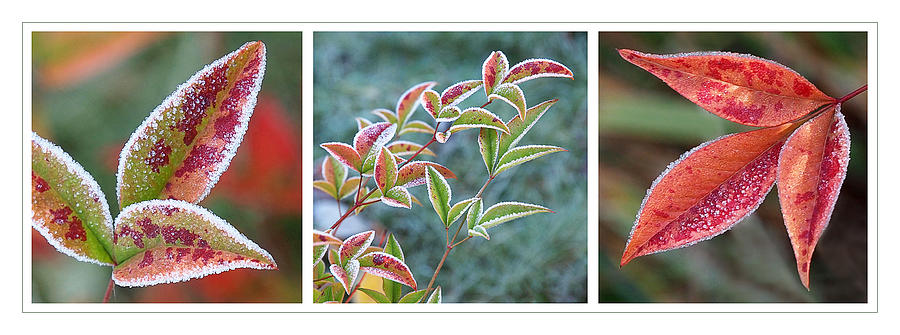 Frosty Leaves Photograph