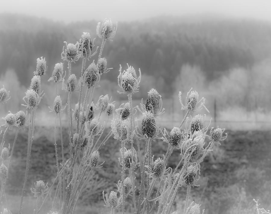 Frozen Teasel Photograph