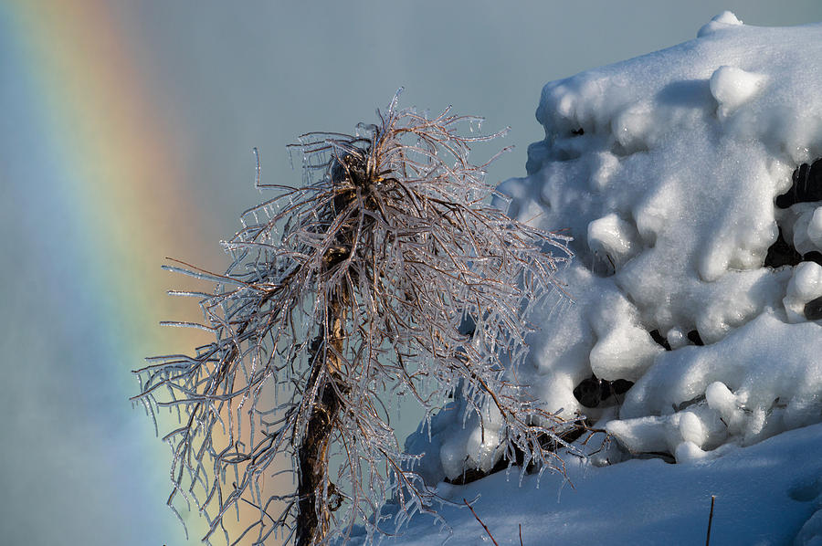 Frozen Tree Photograph