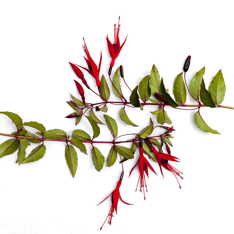 Fuchsia Stems On White Photograph
