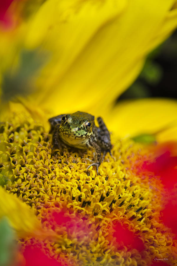 Funny Frog On A Sunflower Photograph