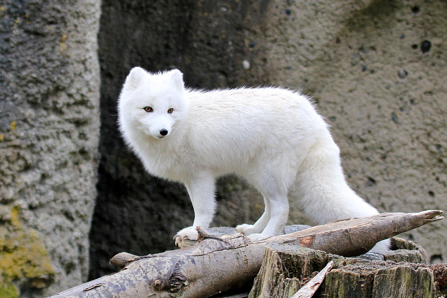 Arctic Fox Pet