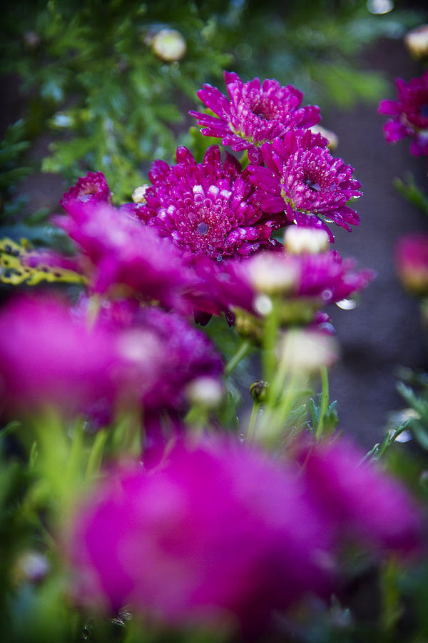 Fuschia Mums Photograph - Fuschia Mums 1 by Jessica Velasco