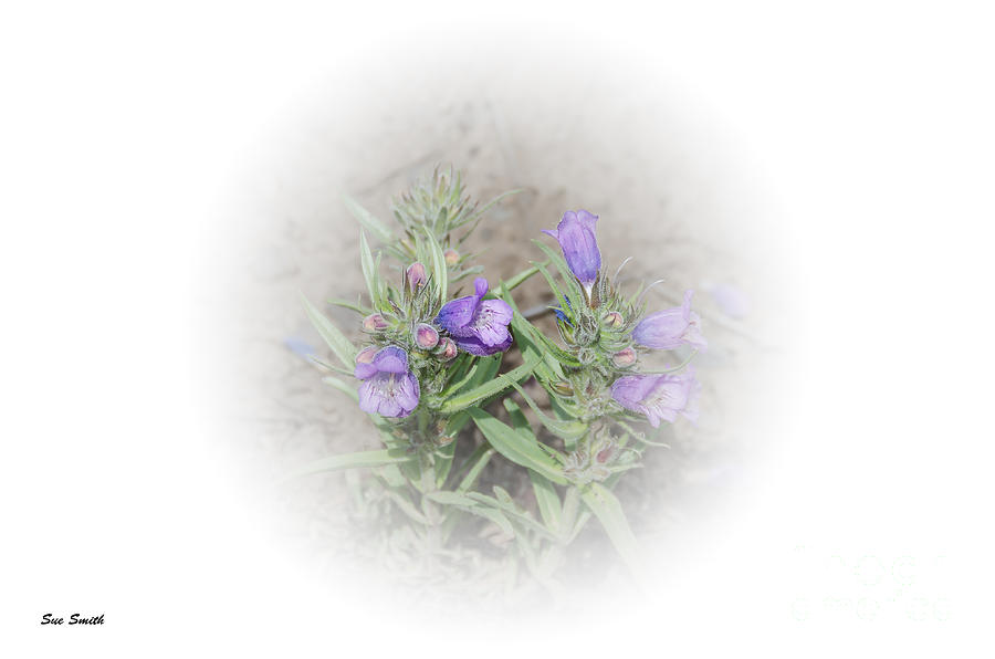 Fuzzytongue Penstemon Photograph  - Fuzzytongue Penstemon Fine Art Print