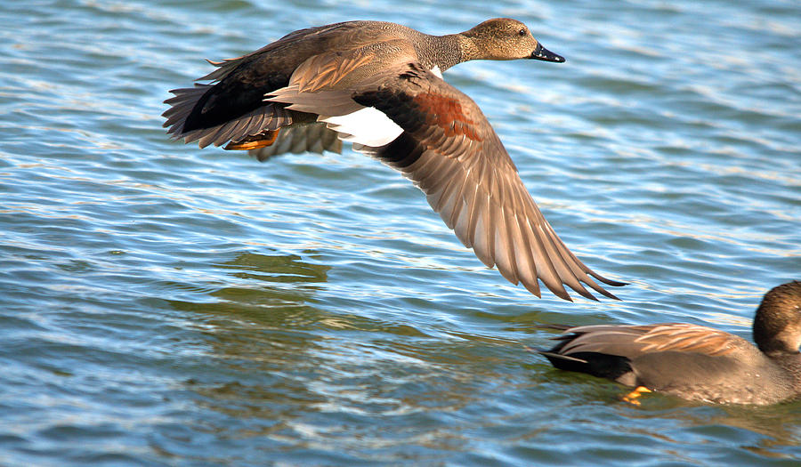 Gadwall Duck Flyover is a photograph by Roy Williams which was ...