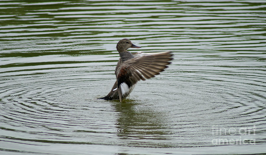 Gadwall Duck Photograph - Gadwall Duck by Lori Tordsen
