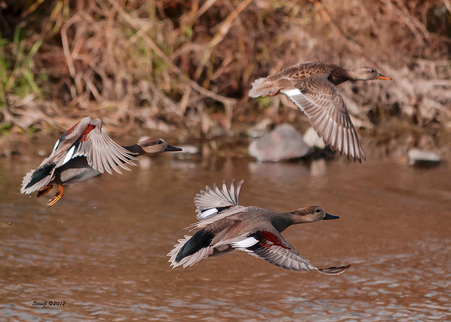 Gadwall Ducks Photograph - Gadwall Ducks On The South Platte by ...