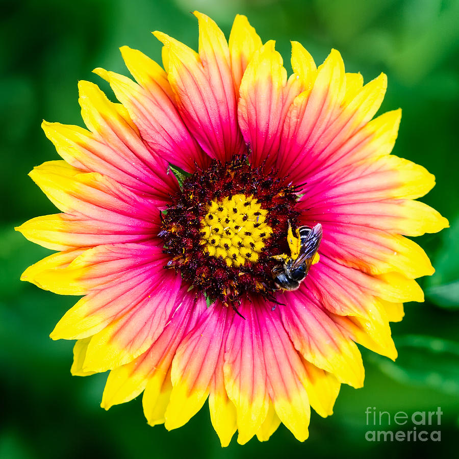 Gaillardia And A Bee Photograph  - Gaillardia And A Bee Fine Art Print