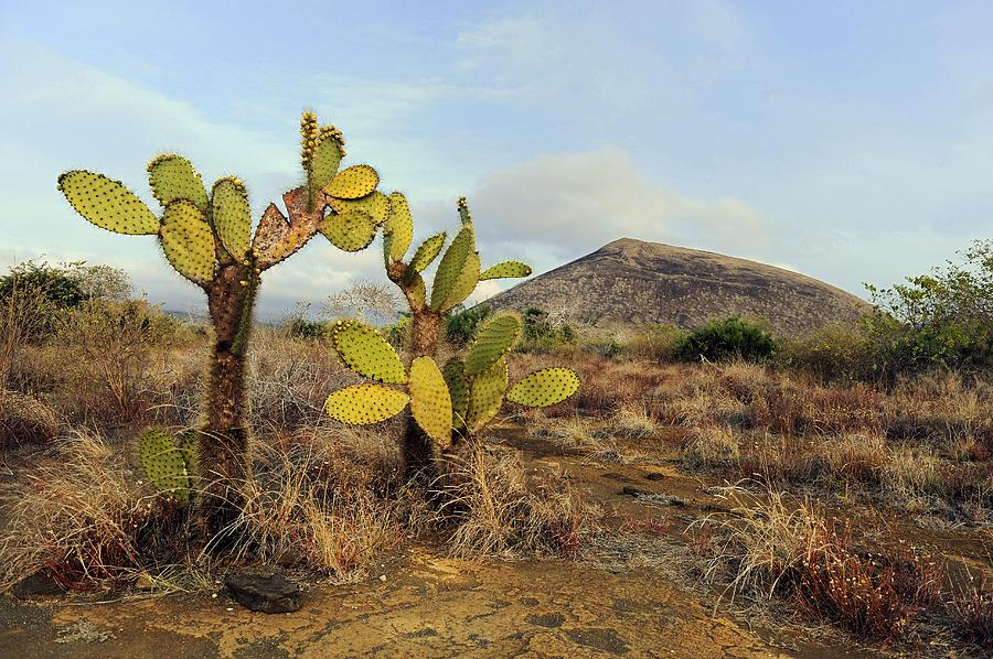 Galapagos Prickly Pear (opuntia Echios) Photograph