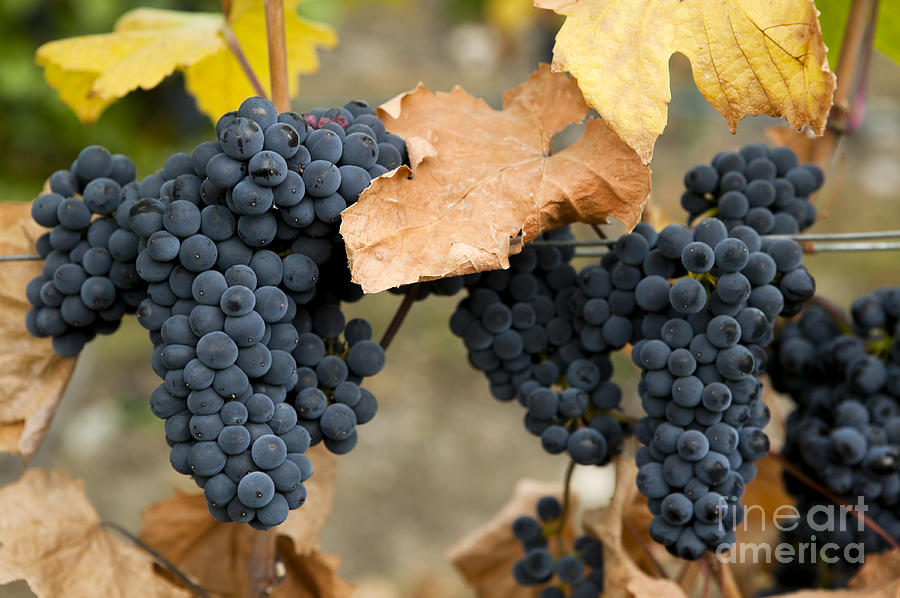 Gamay Noir Grapes Photograph  - Gamay Noir Grapes Fine Art Print
