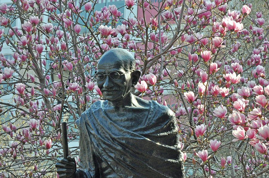 Gandhi With Magnolias Photograph  - Gandhi With Magnolias Fine Art Print