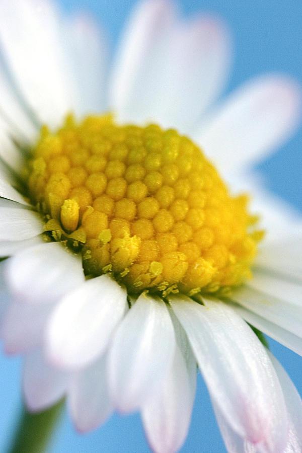 Garden Daisy Photograph
