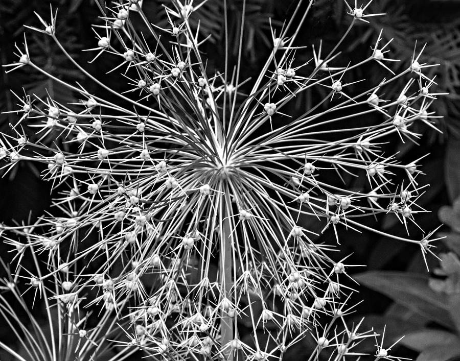 Flower Photograph - Garden Fireworks 2 Monochrome by Steve Harrington
