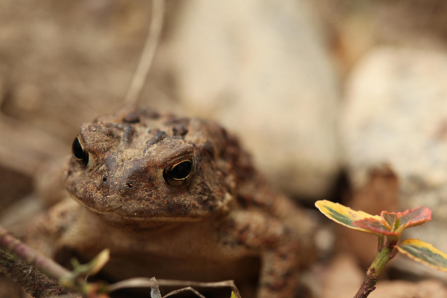 Eastern American Toad Photograph - Garden Frog by Karol Livote