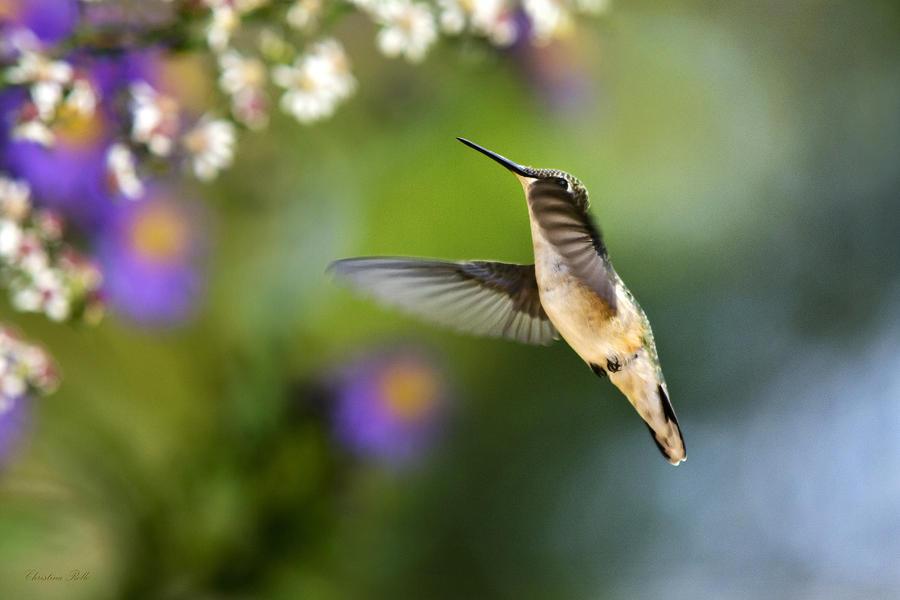 Garden Hummingbird Photograph