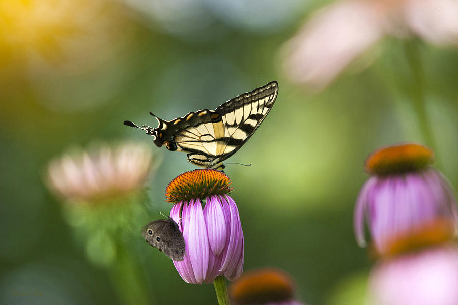 Garden Rainbow Butterfly Photograph