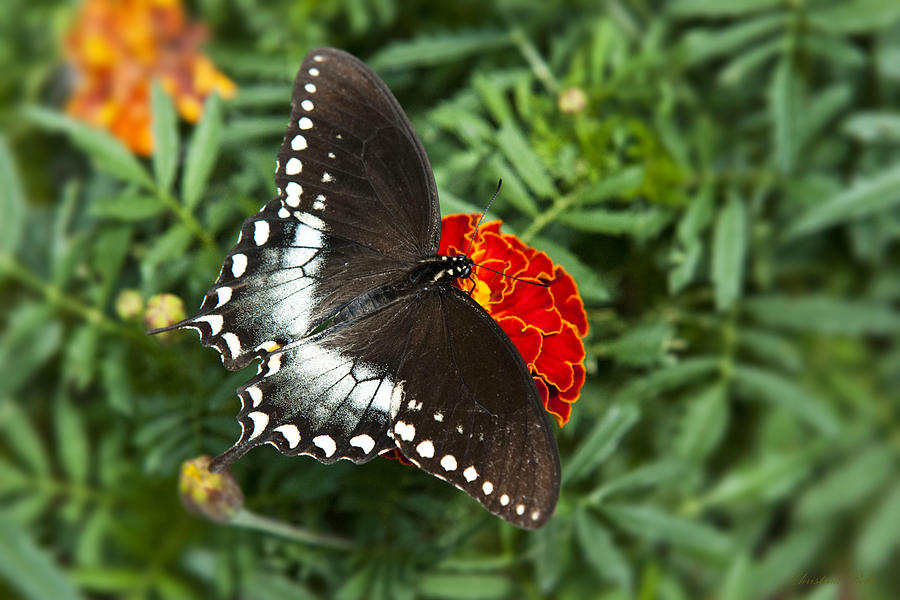 Butterfly Photograph - Garden Spice Butterfly by Christina Rollo
