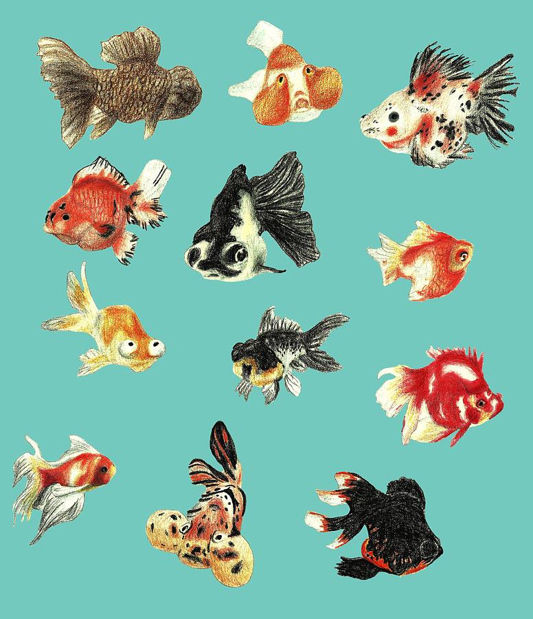 the gallery for gt goldfish drawing art