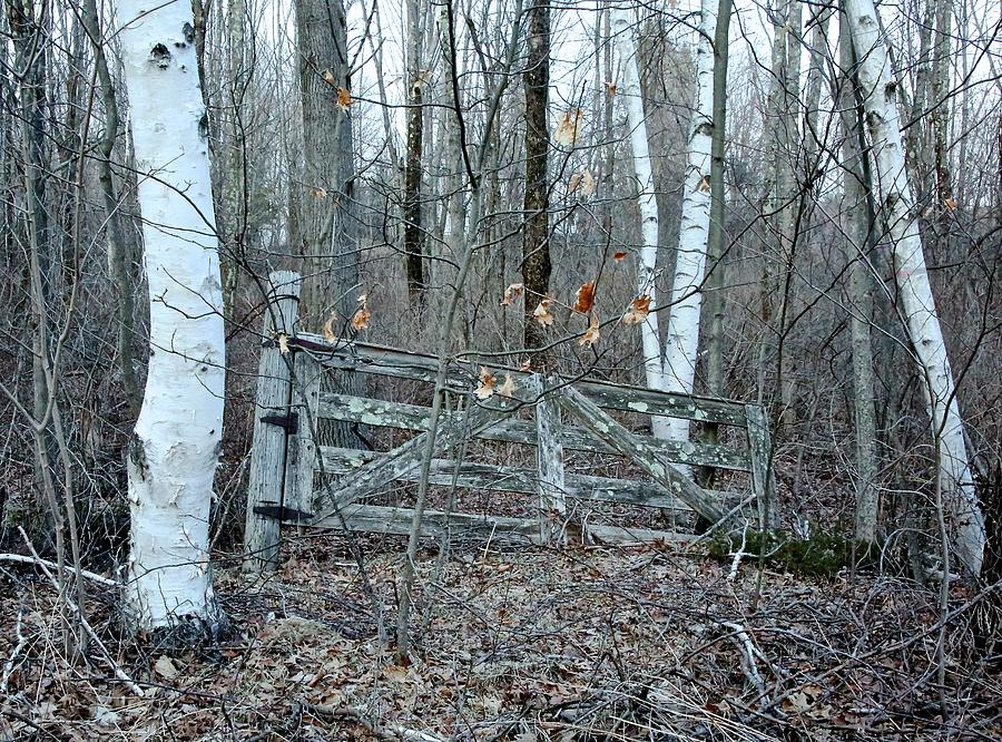 Gate And Birches Photograph