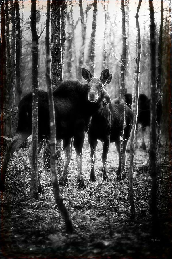 Gathering Of Moose Photograph