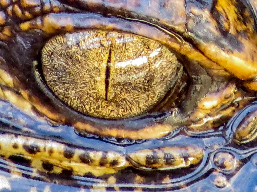 Gator Babys Eye Photograph