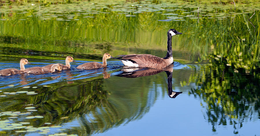 Geese Ripples Photograph