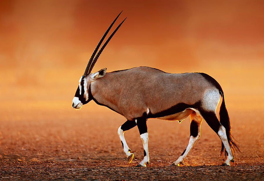 Gemsbok On Desert Plains At Sunset Photograph