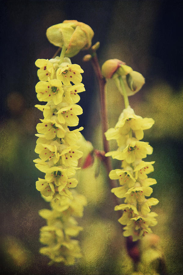 Flowers Photograph - Gently Falling by Laurie Search