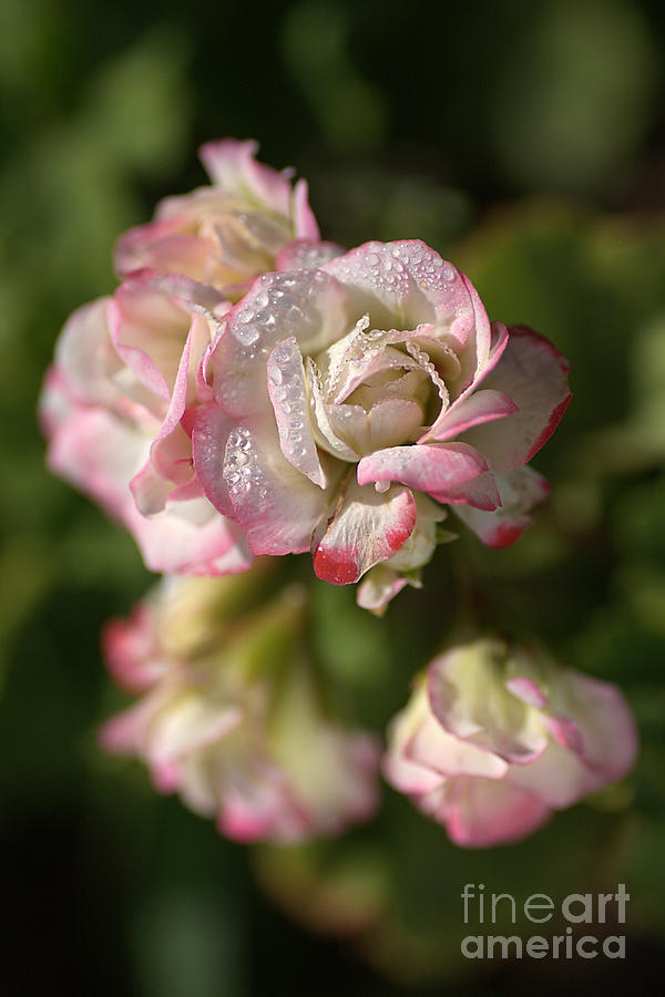 Geranium Flowers Photograph - Geranium Flowers by Joy Watson