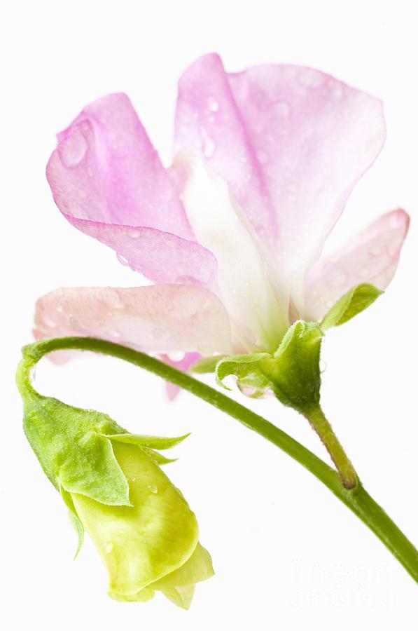 August Photograph - Geranium Pink by Anne Gilbert