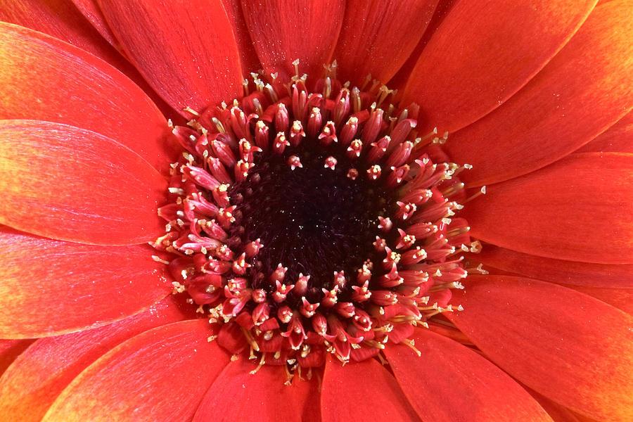 Gerbera Daisy Flower IIi Photograph