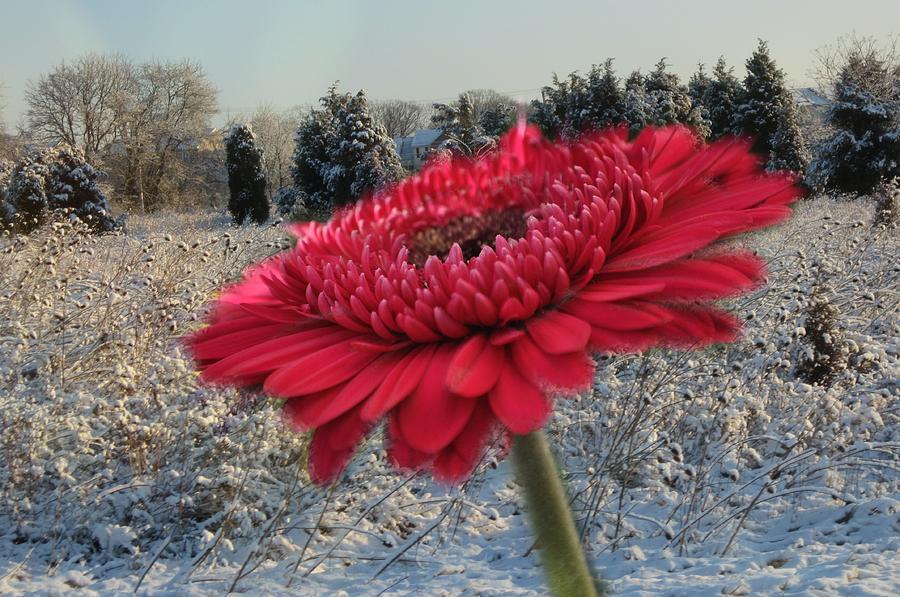 Gerbera Daisy In The Snow Photograph