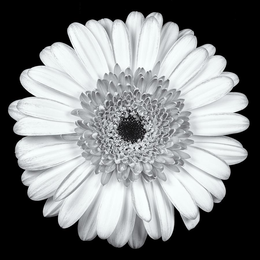 Gerbera Daisy Monochrome Photograph