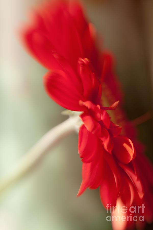 Gerbera Red I Photograph
